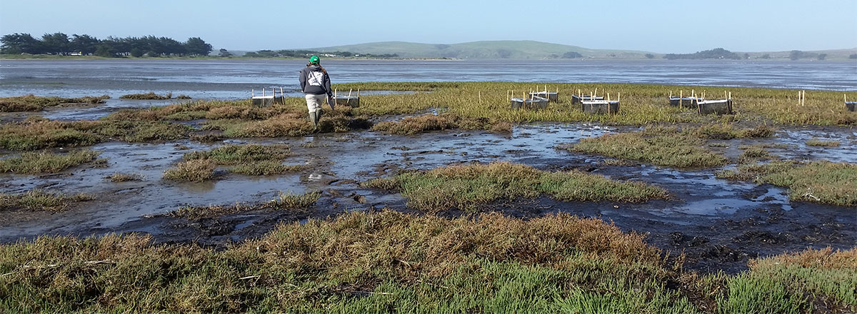 PI Jeremy Long examines effects of crabs on the salt marsh